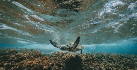 gray and black turtle swimming under water photography