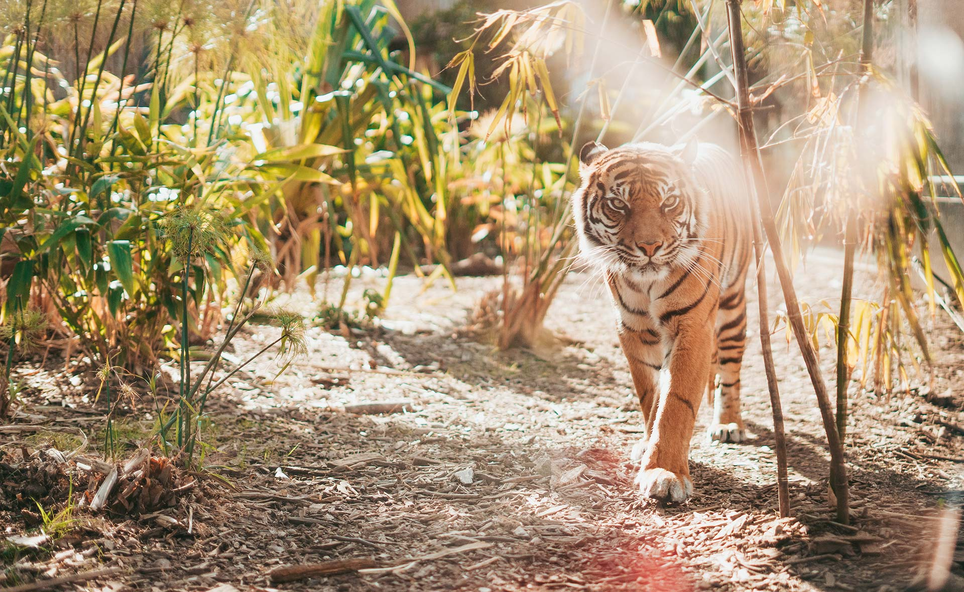 tiger walking near plants during daytime