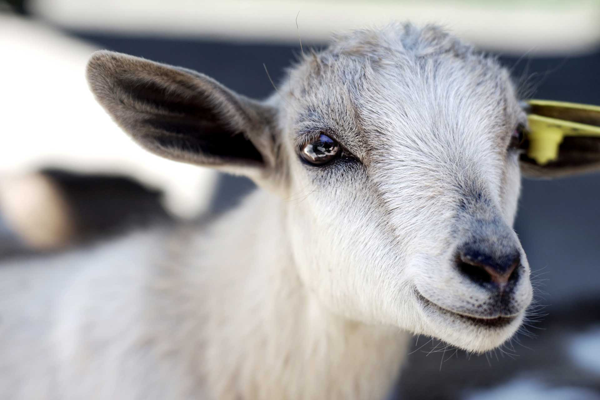close-up photography of goat kid